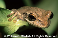 Frog by William Gladish