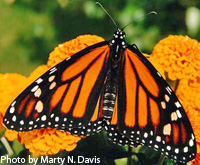 Monarch by Marty N. Davis
