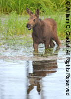 Moose calf in water by William Gladish