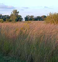Prairie grasses