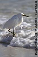 Seabird in surf by William Gladish