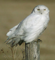 Snowy Owl by Ann Cook
