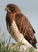 Swaison's Hawk by Ann Cook