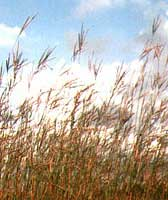 Tall prairie grass